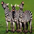 Funny Zebras